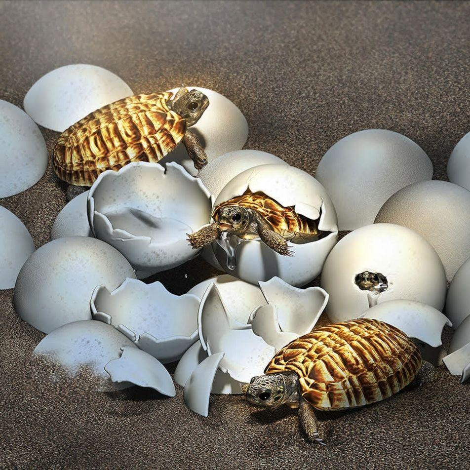 Encuentran embrión de tortuga gigante prehistórica en un huevo fosilizado
