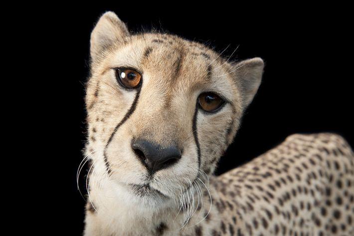 2011   El fotógrafo de National Geographic,Joel Sartore,capturó esta imagen de un guepardo de tres años para suproyectoPhoto Ark, que recurre al poder de ...