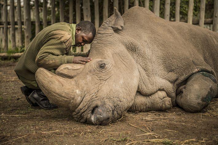 2018   Una guardabosques consuela a Sudán, el último rinoceronte blanco del norte macho del planeta momentos antes desu ...