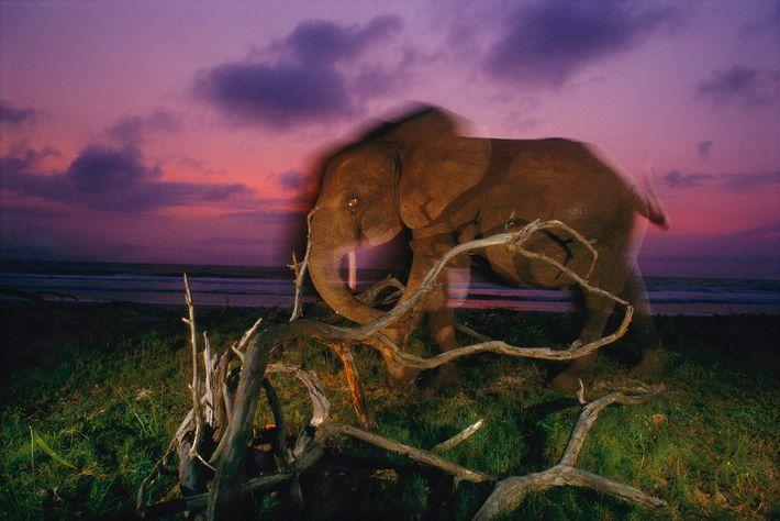 2000  Un elefante de bosque camina por las costas del suroeste de Gabón.A principios de siglo, el ...
