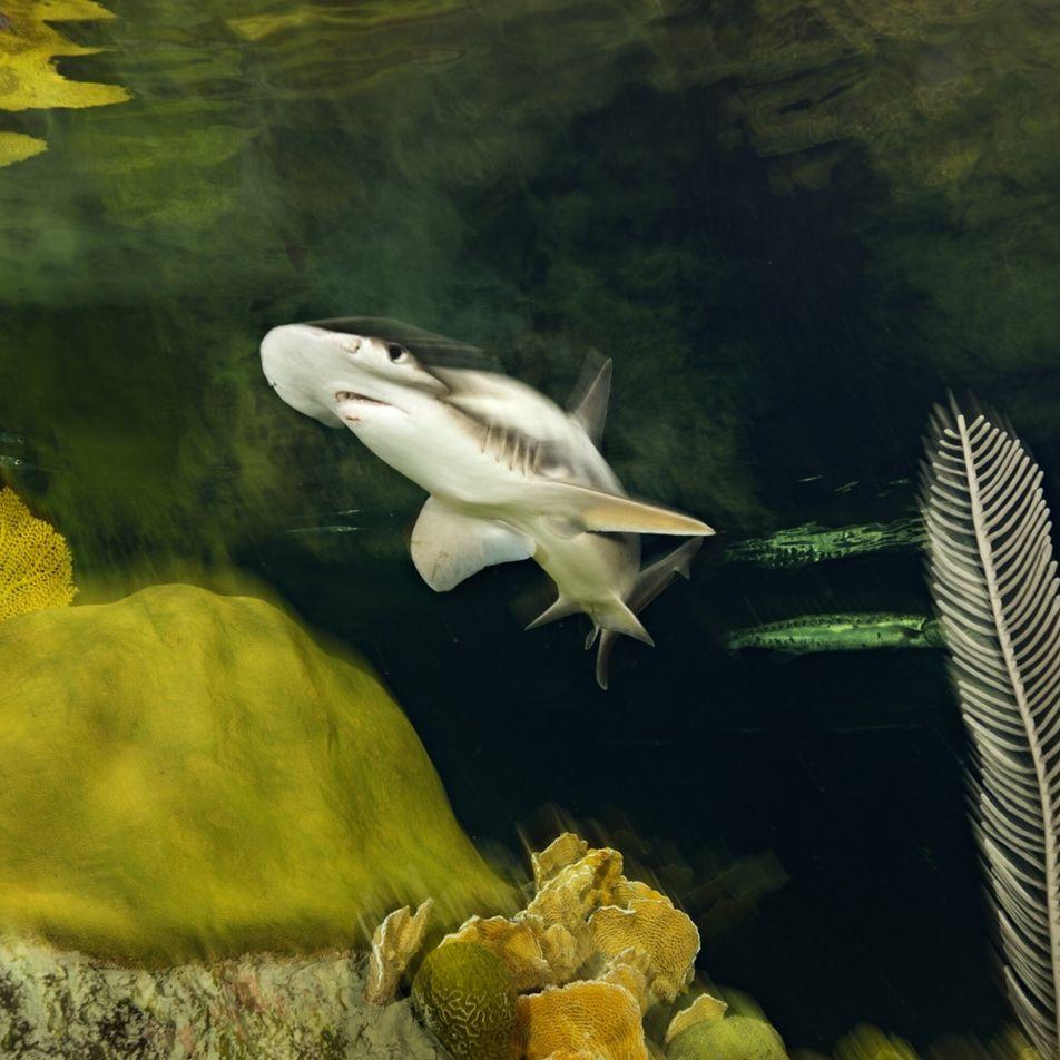 Confirman que los tiburones se orientan utilizando el campo magnético de la Tierra