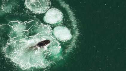Las ballenas jorobadas no pueden tragarse a un ser humano: descubre el por qué