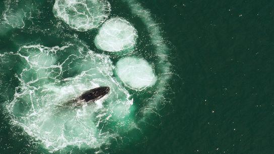 humback-whale-bubble-netting