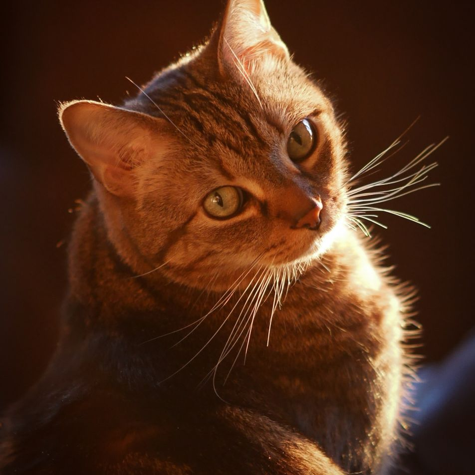 Descubren cómo los gatos atigrados generan sus rayas