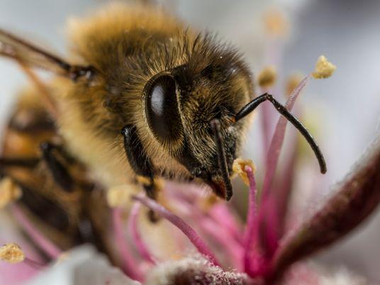 Las abejas acumulan microplásticos presentes en el aire en sus cuerpos