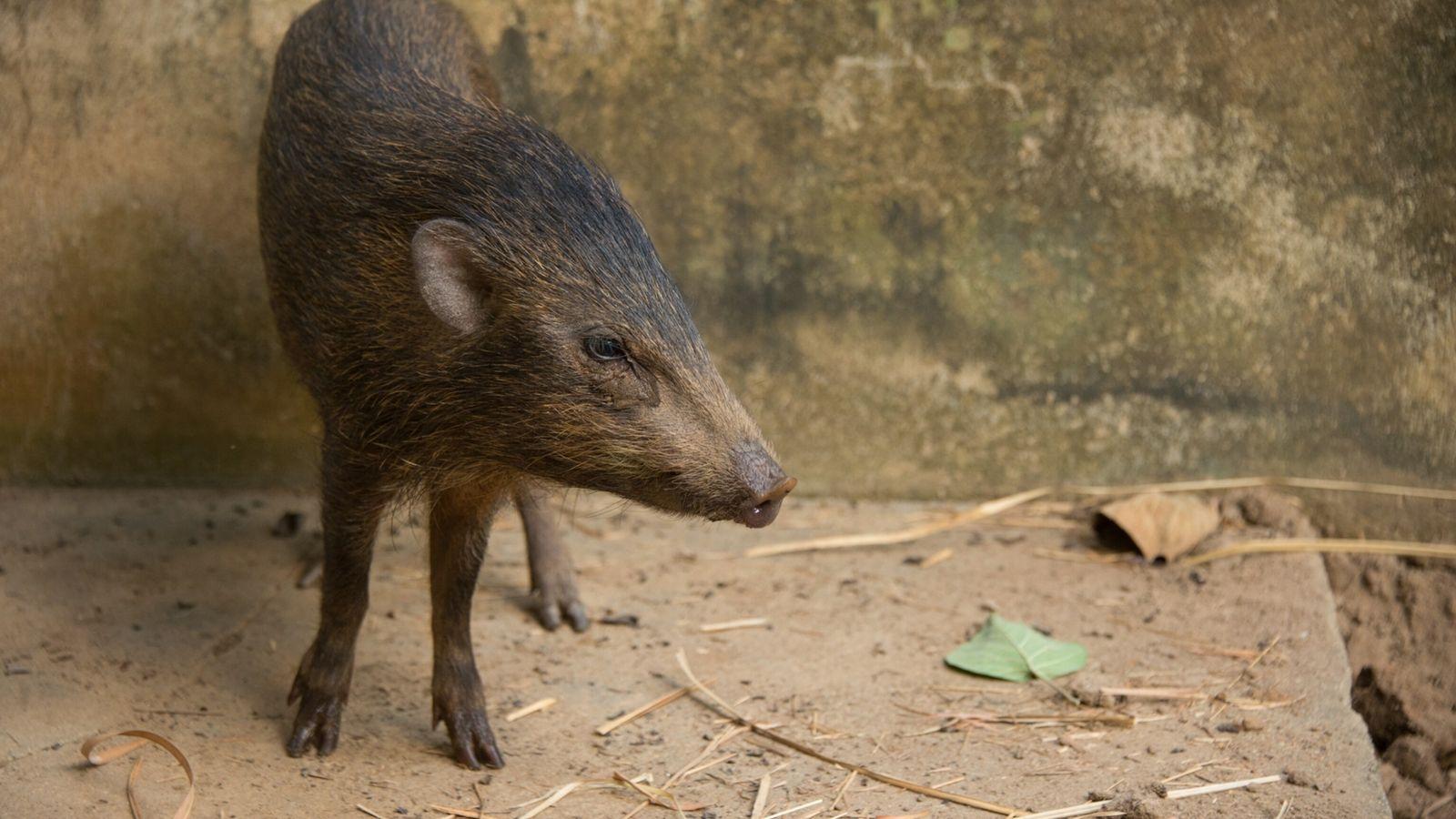 01-pygmy-hog