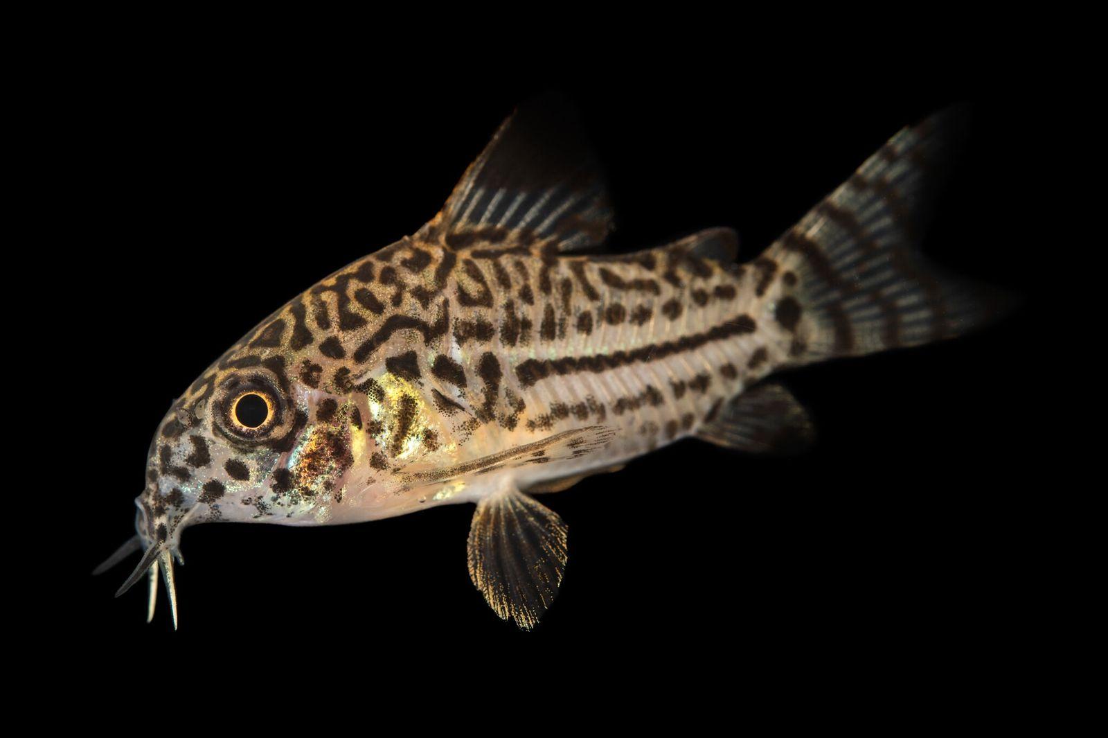 ¿Cómo estos peces del Amazonas sobreviven a las mordeduras de las pirañas?