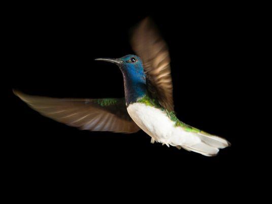 ¿Por qué algunas hembras de una especie de colibrí adquieren la apariencia de los machos?