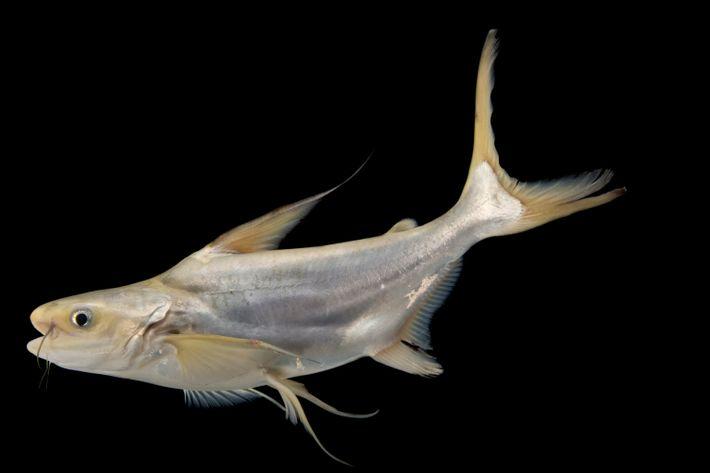 Un bagre pangasius gigante en peligro crítico, también conocido como pez gato gigante del Mekong