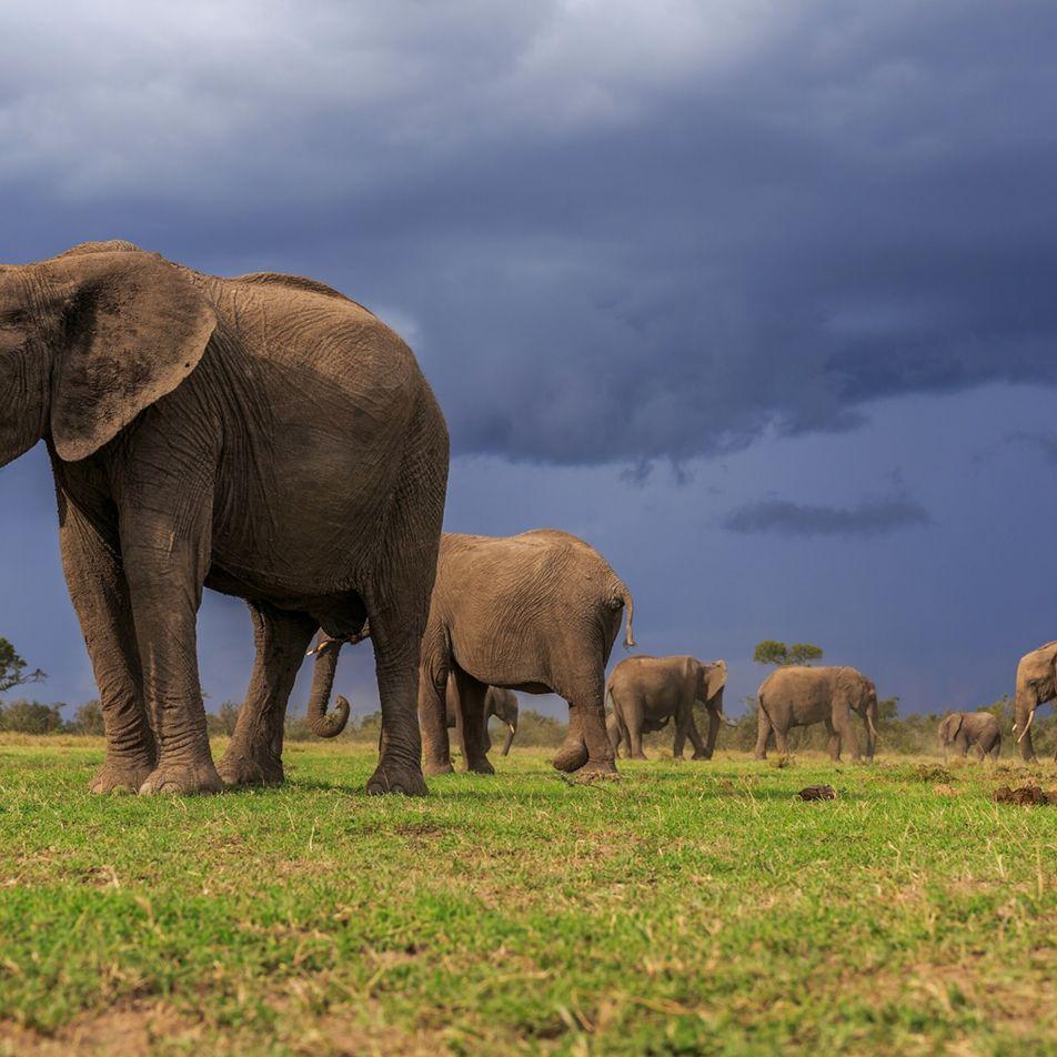 Las dos especies de elefantes africanos están en peligro, y para una de estas, la situación ...