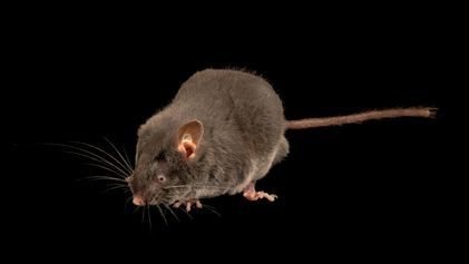 """Estos roedores ciegos pueden """"ver"""" con los oídos"""