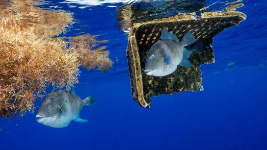 Residuos plásticos en el Mar de los Sargazos, en el Atlántico Norte. Es evidente la similitud entre ...