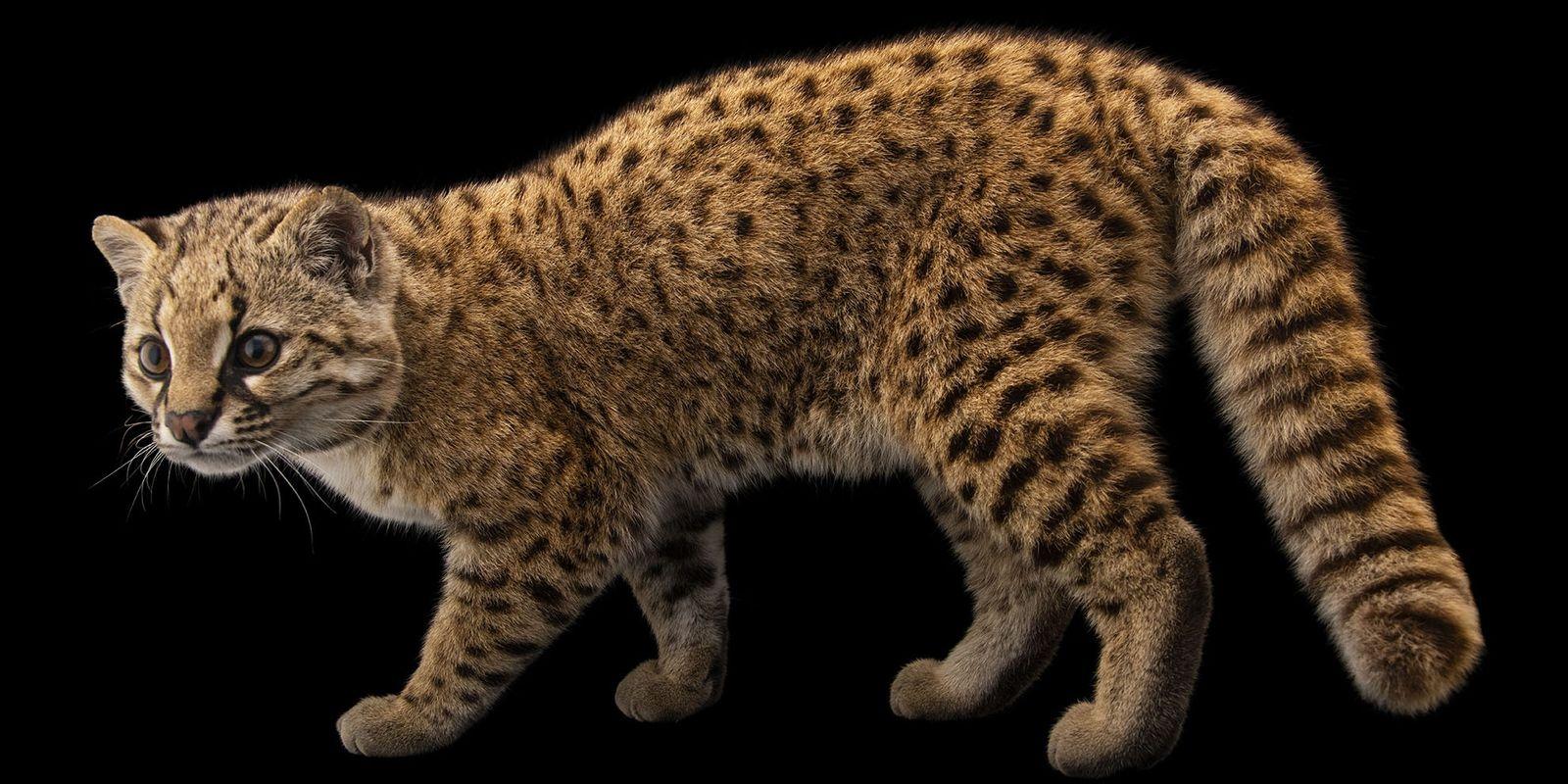Conoce a la güiña, un 'gato misterioso' en peligro de extinción