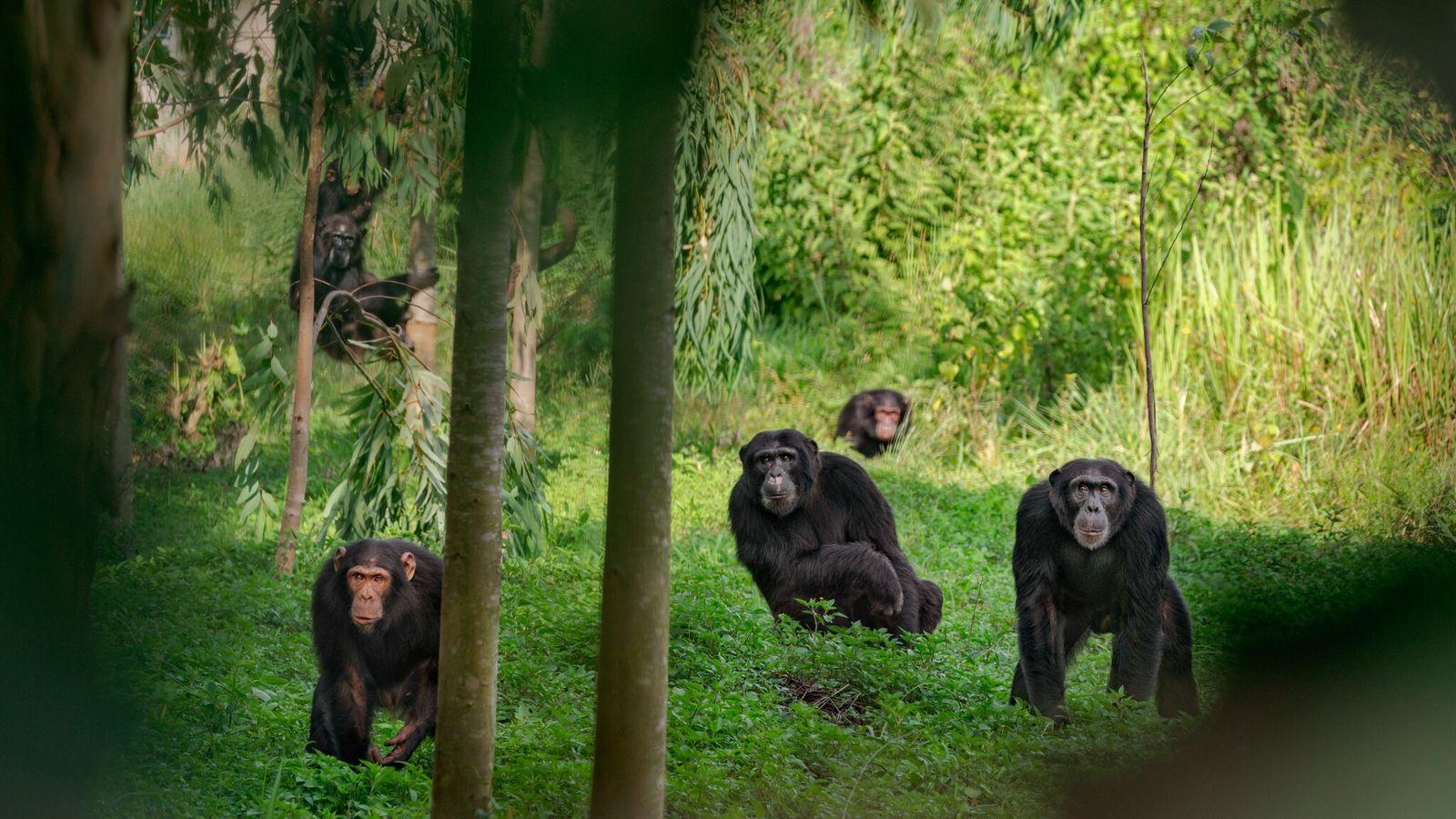 Un grupo de chimpancés en Uganda. Algunos machos alfa gobiernan con mano dura, mientras que otros ...