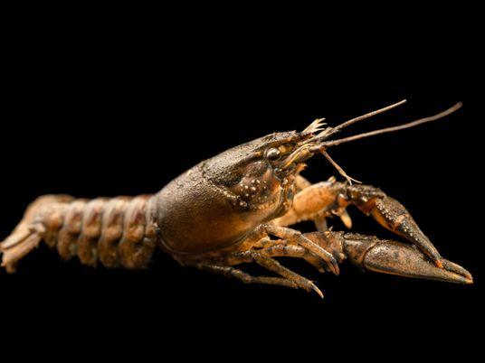 Los antidepresivos que llegan a las vías fluviales podrían alterar el comportamiento de los cangrejos de ...