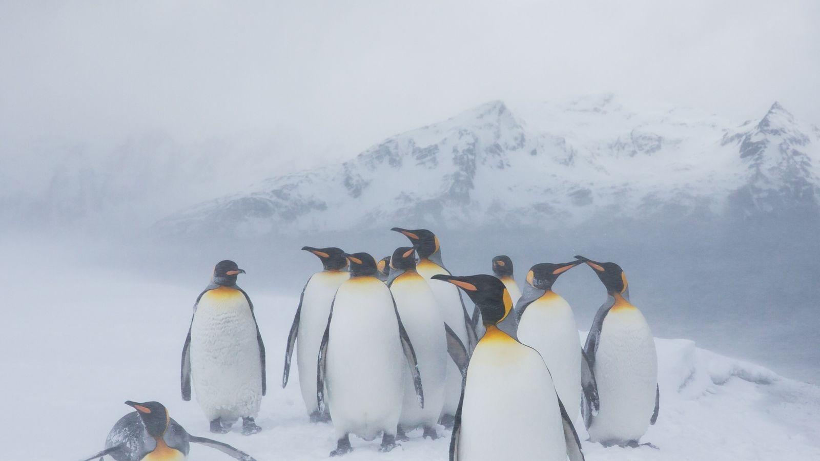 yellow-penguin