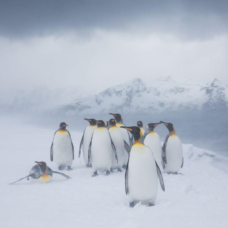 Avistan un pingüino amarillo en la Antártida. ¿Por qué es tan raro?