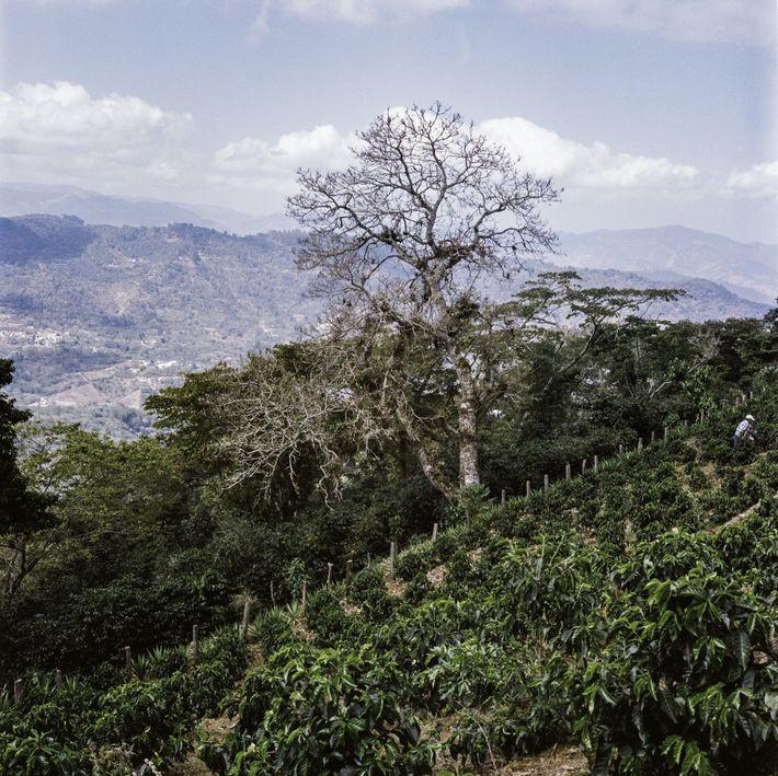 """A través de la iniciativa agroforestal, los agricultores están protegiendo sus plantaciones con """"árboles barrera"""", es ..."""