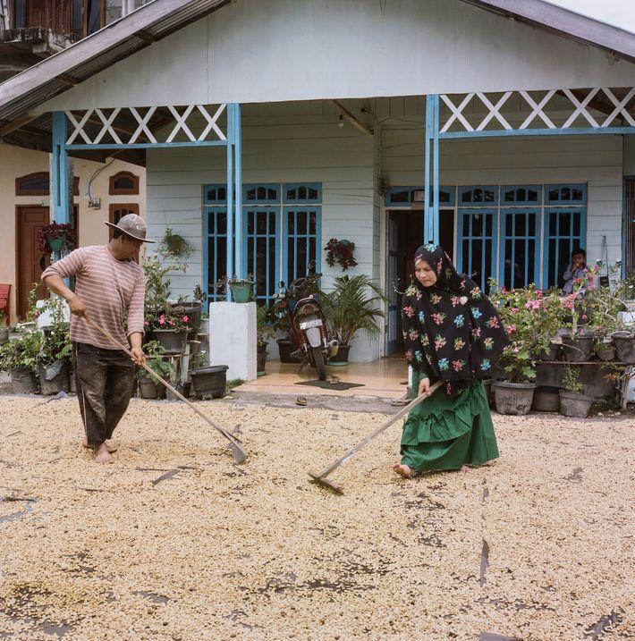 """Los caficultores de Sumatra utilizan una inusual técnica de descascarillado """"en húmedo"""" para acelerar el proceso ..."""