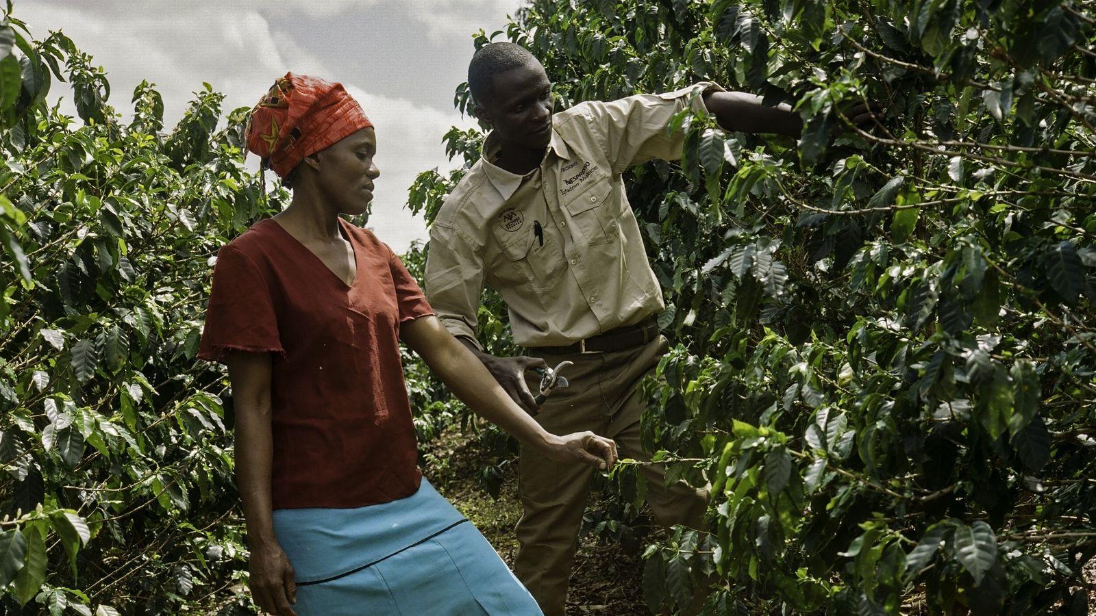 Los agrónomos de Nespresso imparten lecciones prácticas de campo en parcelas de muestra, donde los estudiantes ...