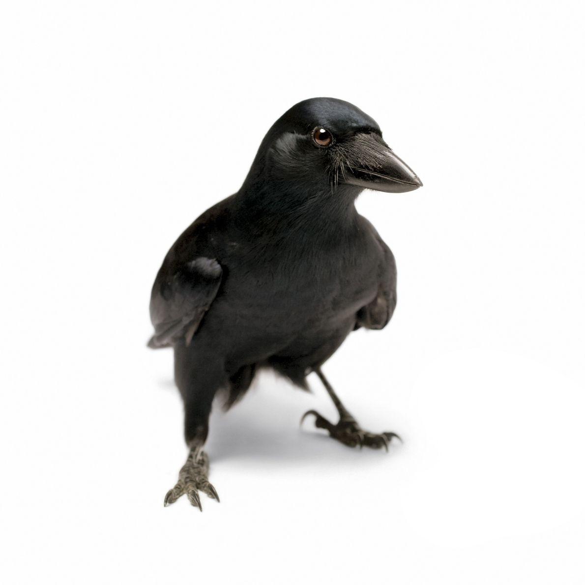 Los cuervos de Nueva Caledonia, que reciben su nombre de una nación isleña en el Pacífico ...