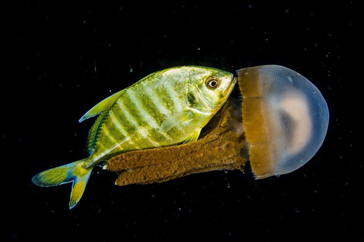 Un jurel juvenil y una medusa se mezclan en las profundidades del mar frente a la ...
