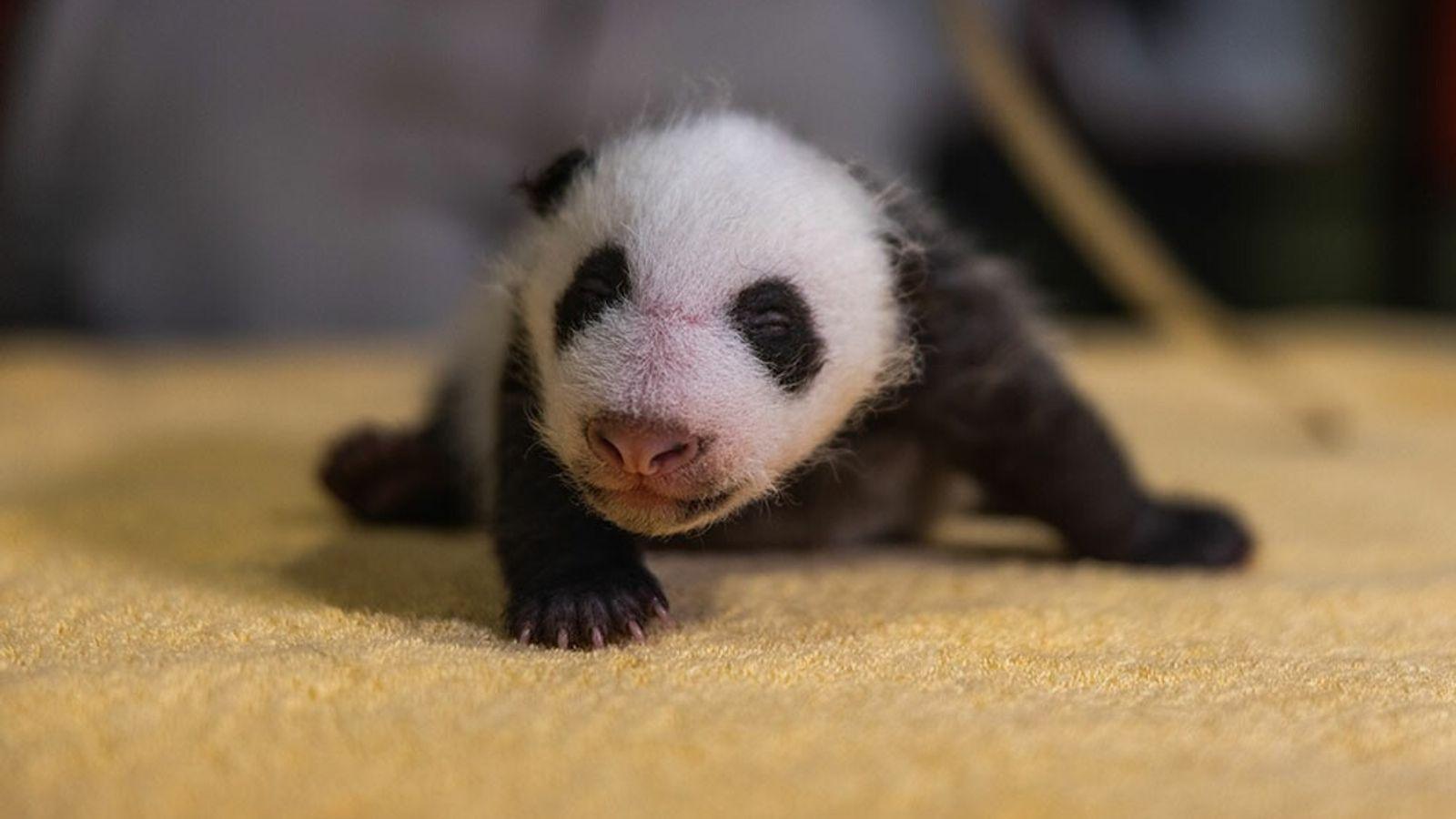 Los pandas nacen sin sus distintivas marcas blancas y negras, pero enseguida las desarrollan, como vemos ...