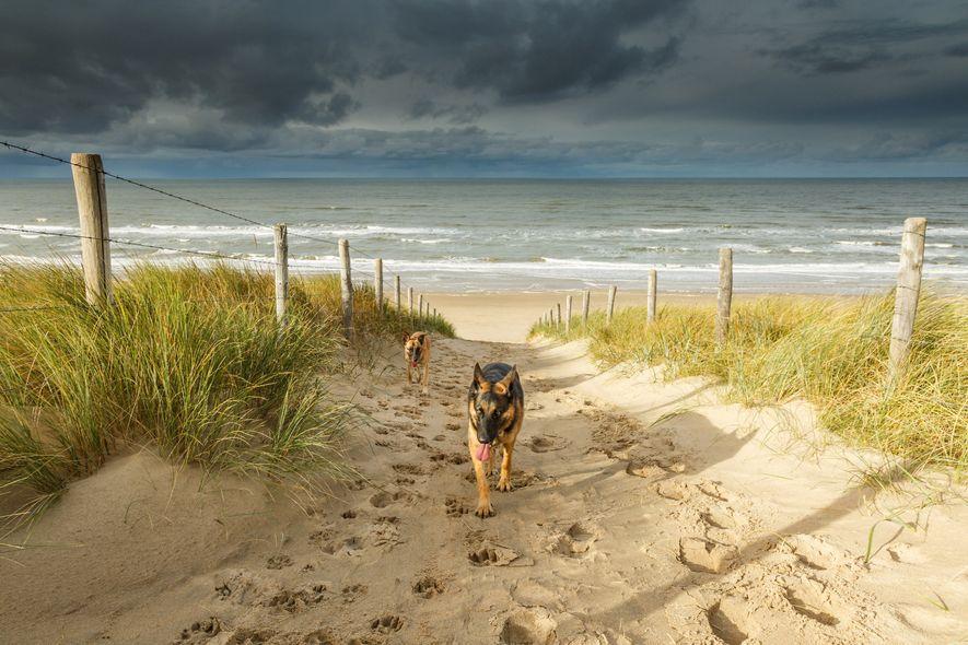 Perros en Noordwijk Beach, Países Bajos, un día de tormenta.