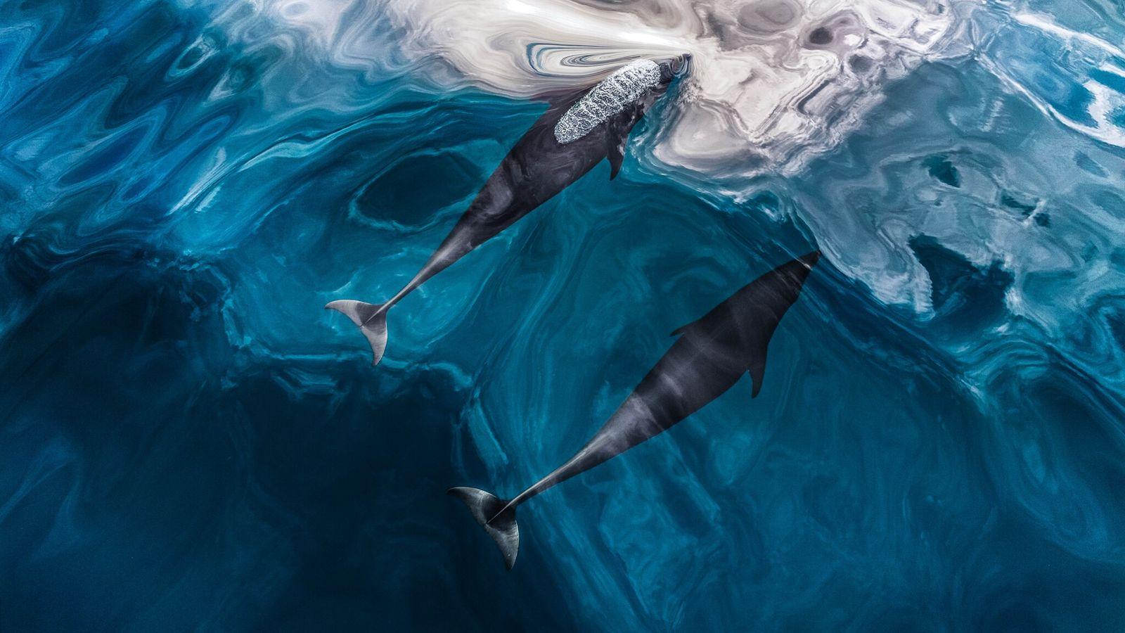 Dos ejemplares de delfín septentrional sin aleta (Lissodelphis borealis) nadan cerca de la Columbia Británica, Canadá. La ...