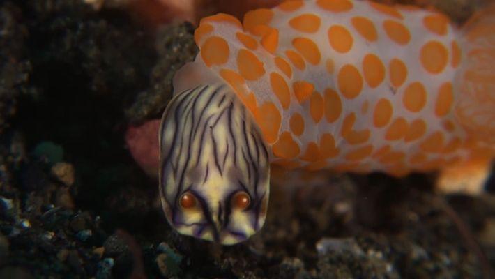 Esta babosa de mar se alimenta de su propia especie