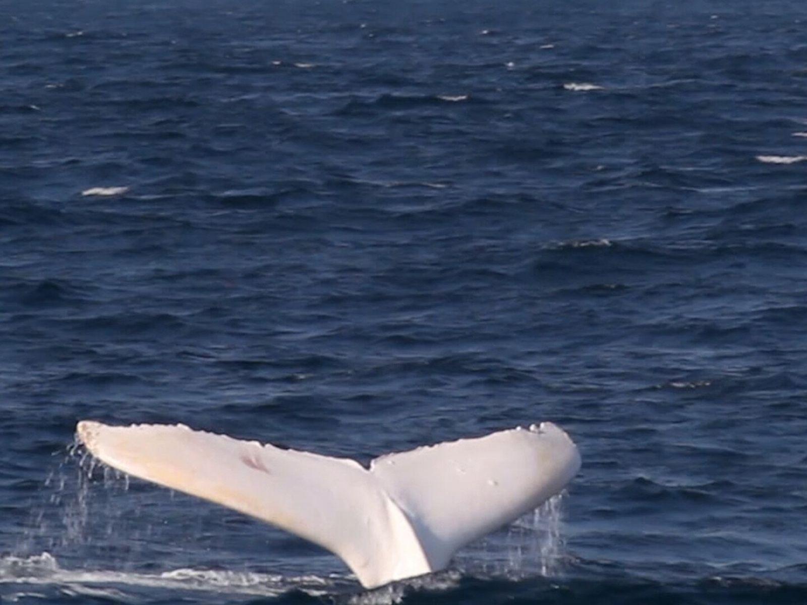 Rara ballena blanca