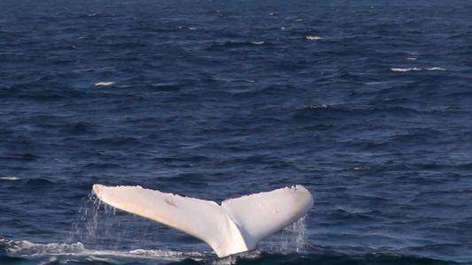 Rara ballena blanca avistada cerca de Australia