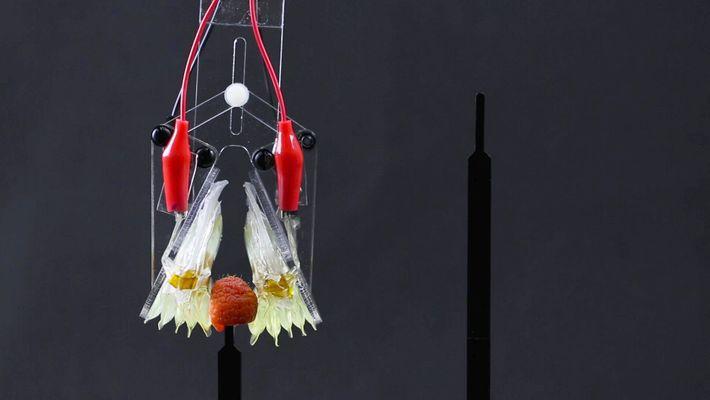 """Los músculos artificiales se están volviendo """"más humanos"""""""