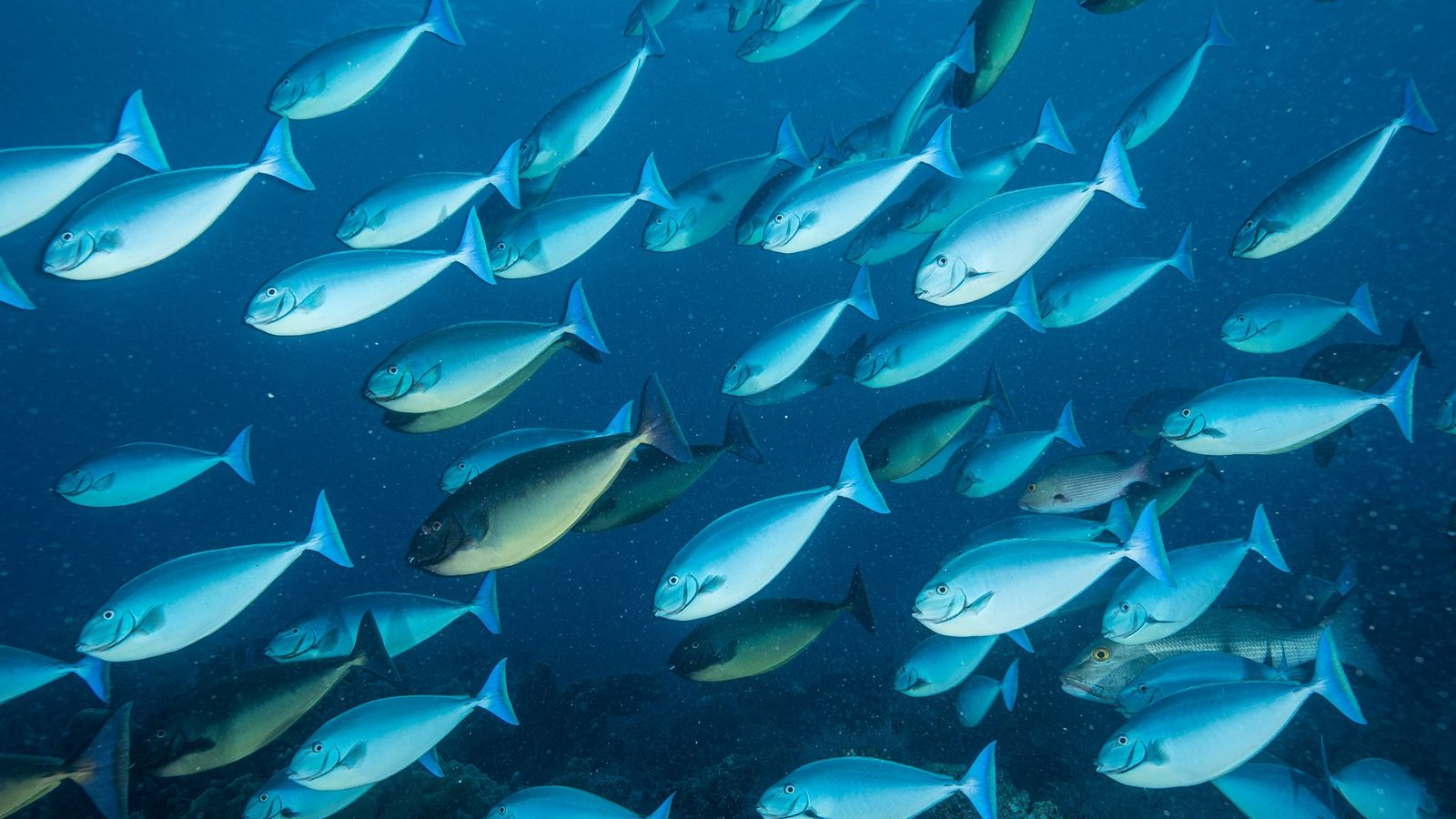 Un banco de peces cirujano nada por el Parque Natural de los Arrecifes de Tubbataha.