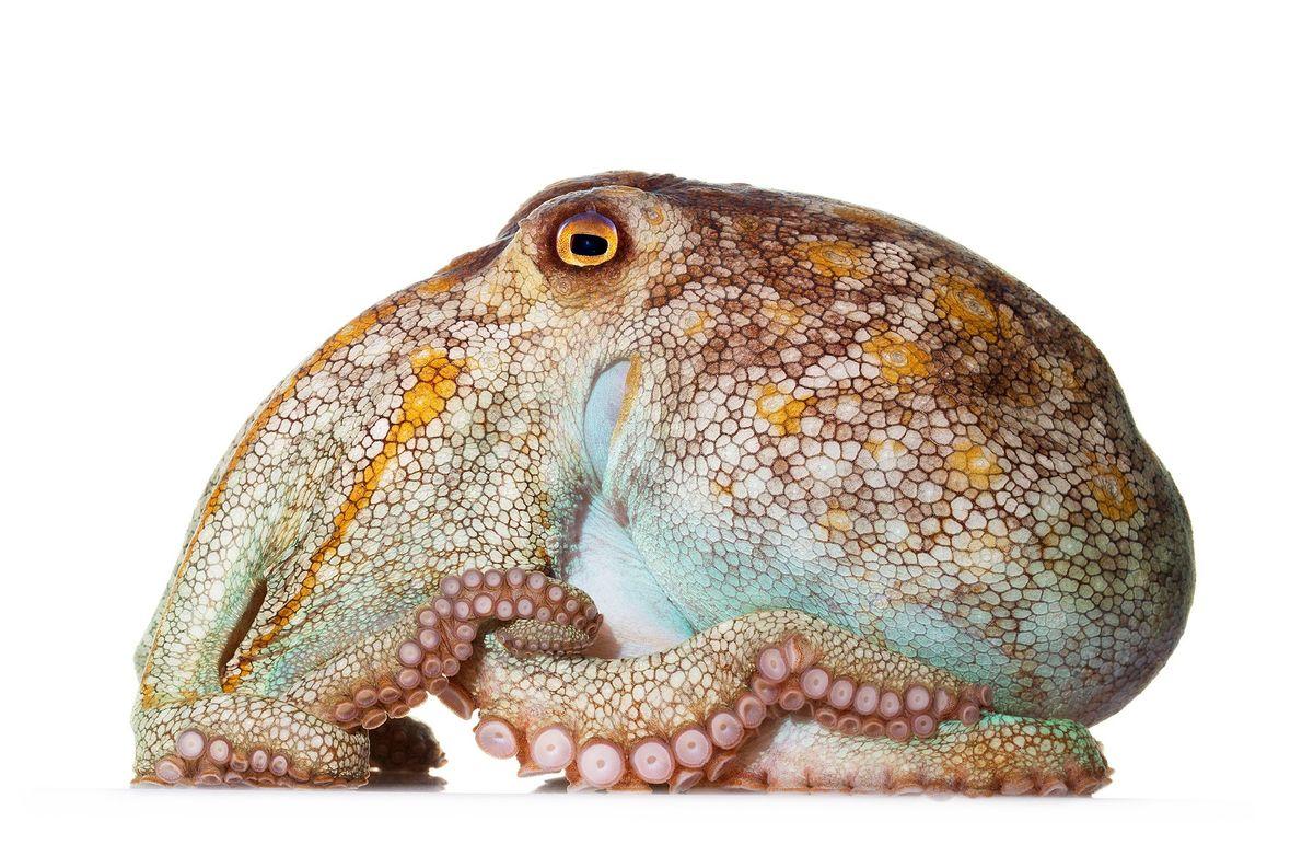 """Este pulpo pálido, """"Octopus pallidus"""", es originario de Australia y mide aproximadamente 12 cm de largo. …"""