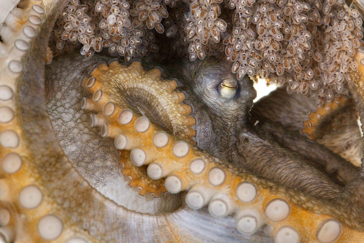 Este pulpo hembra, especie que aún no se ha descrito científicamente, está cuidando sus huevos.