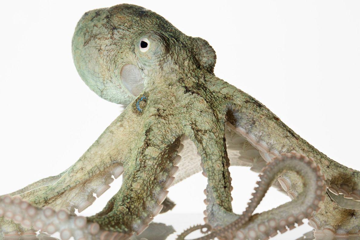 """El pulpo de dos manchas de California (""""Octopus bimaculoides""""), también llamado pulpo bimac, es una especie ..."""