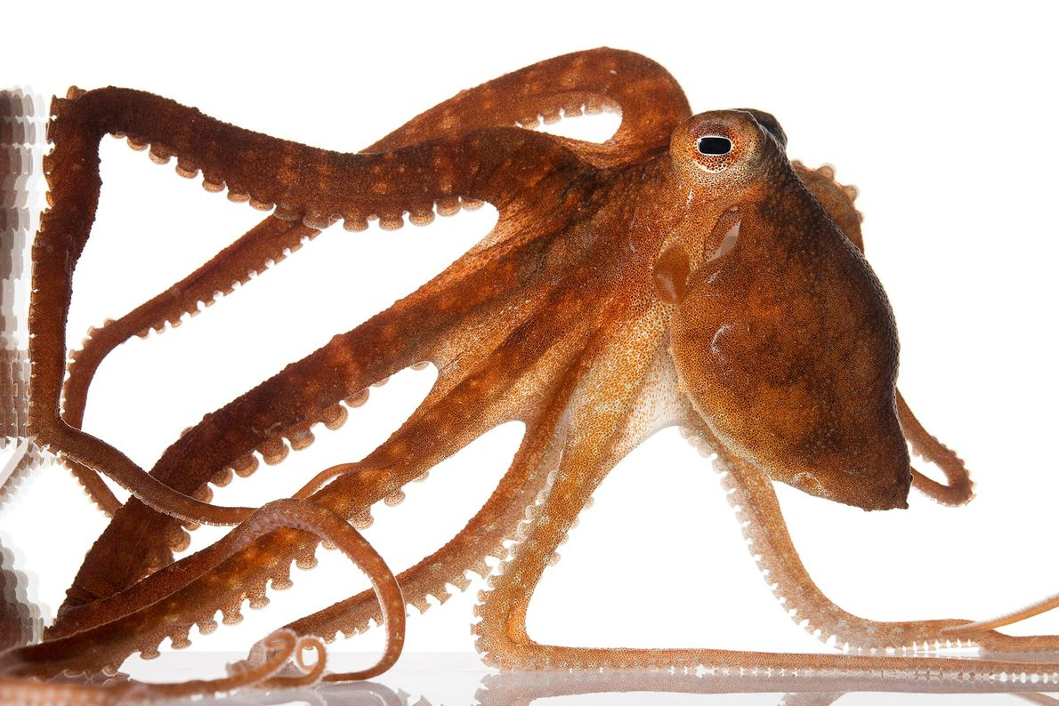 """El """"Callistoctopus aspilosomatis"""" vive en cuevas en la base de los corales, donde coloca restos de ..."""