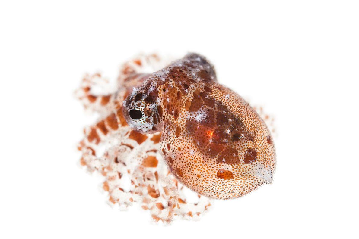 """El """"Octopus wolfi"""" es el pulpo más pequeño que se conoce; mide menos de 2,5 cm ..."""