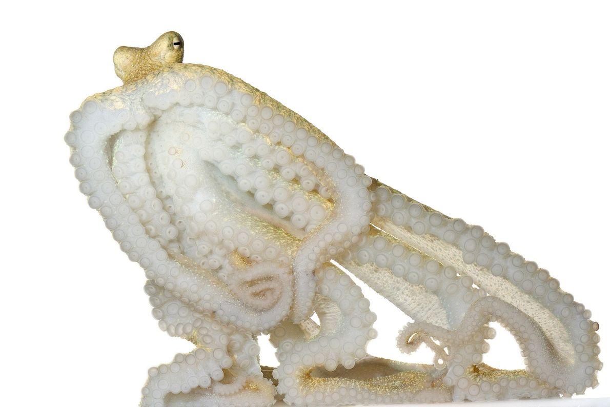 """Cuando el """"Abdopus aculeatus"""" se camufla para reposar, parece una concha cubierta de algas verdes."""