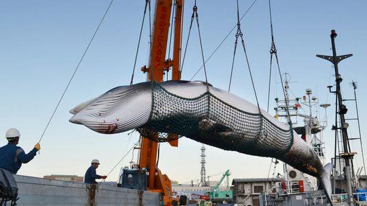 Japón reanudará la caza de ballenas con fines comerciales