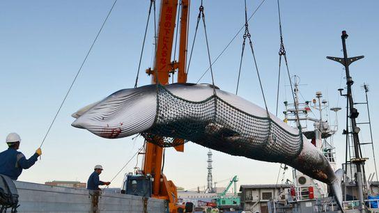 Las ballenas minke o rorcuales aliblancos, como la que se muestra aquí en un puerto japonés, ...