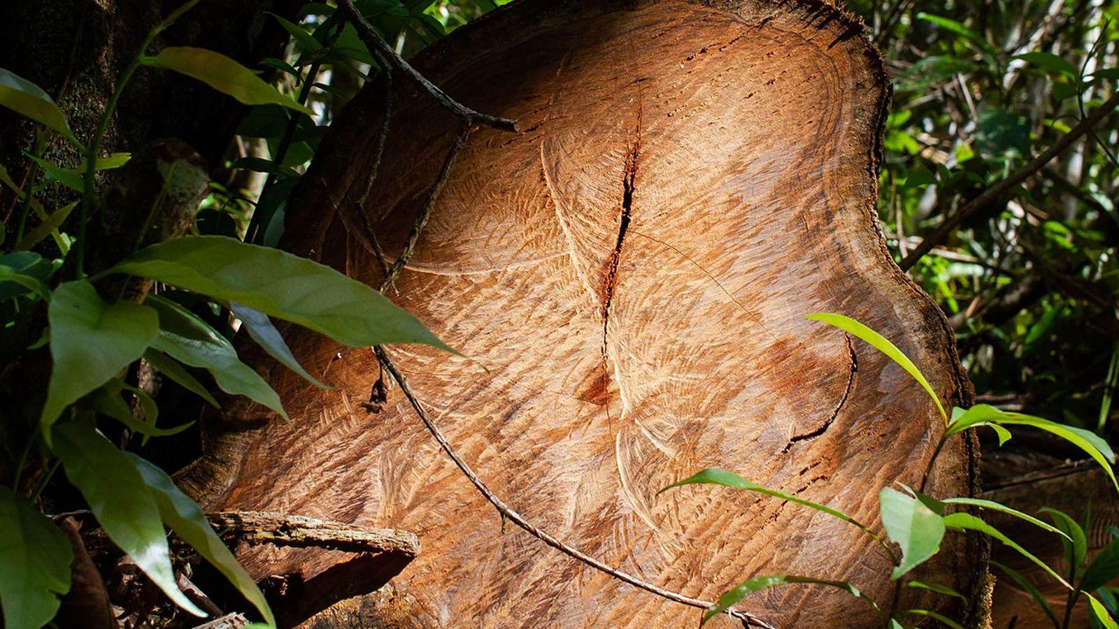 El rosul, duradero y fragante, utilizado para fabricar muebles e instrumentos musicales, es el producto silvestre ...