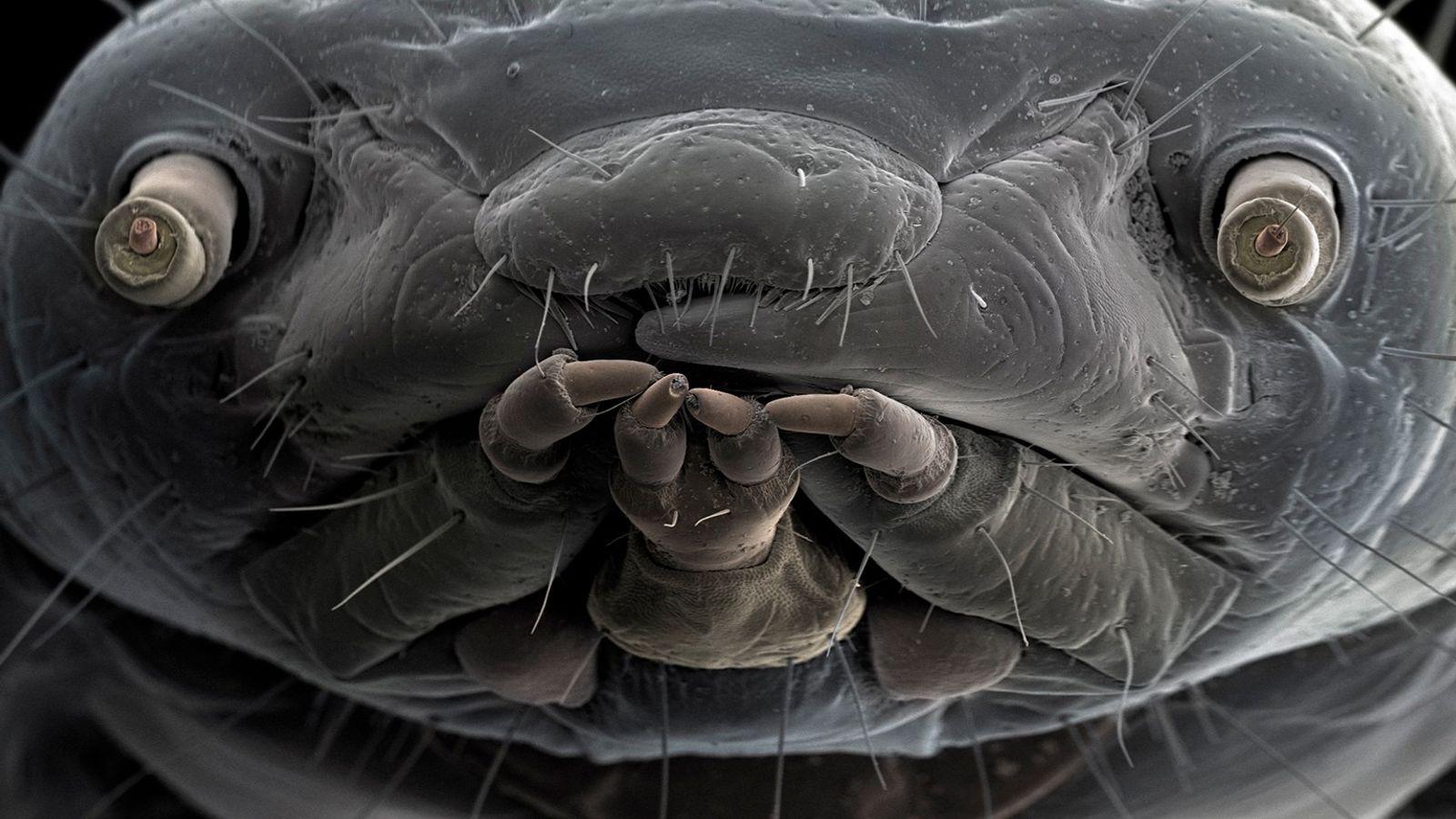 El rostro ampliado de un gusano de la harina revela unos ojos y boca expresivos. Los ...