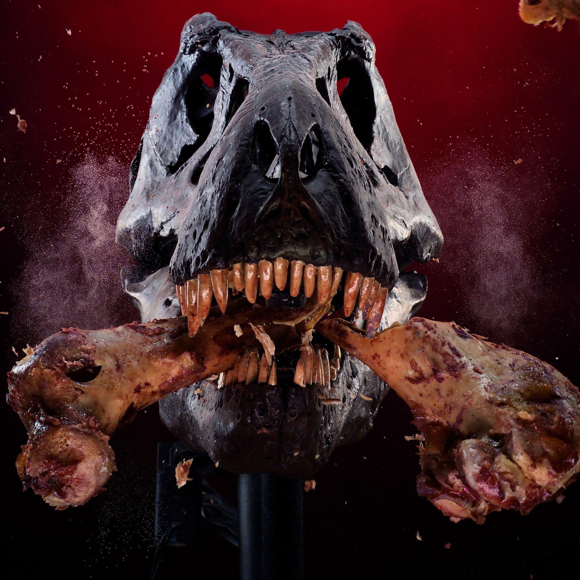 Como parte de un estudio sobre su poderosa mordida, el cráneo de un T. rex mecánico ...