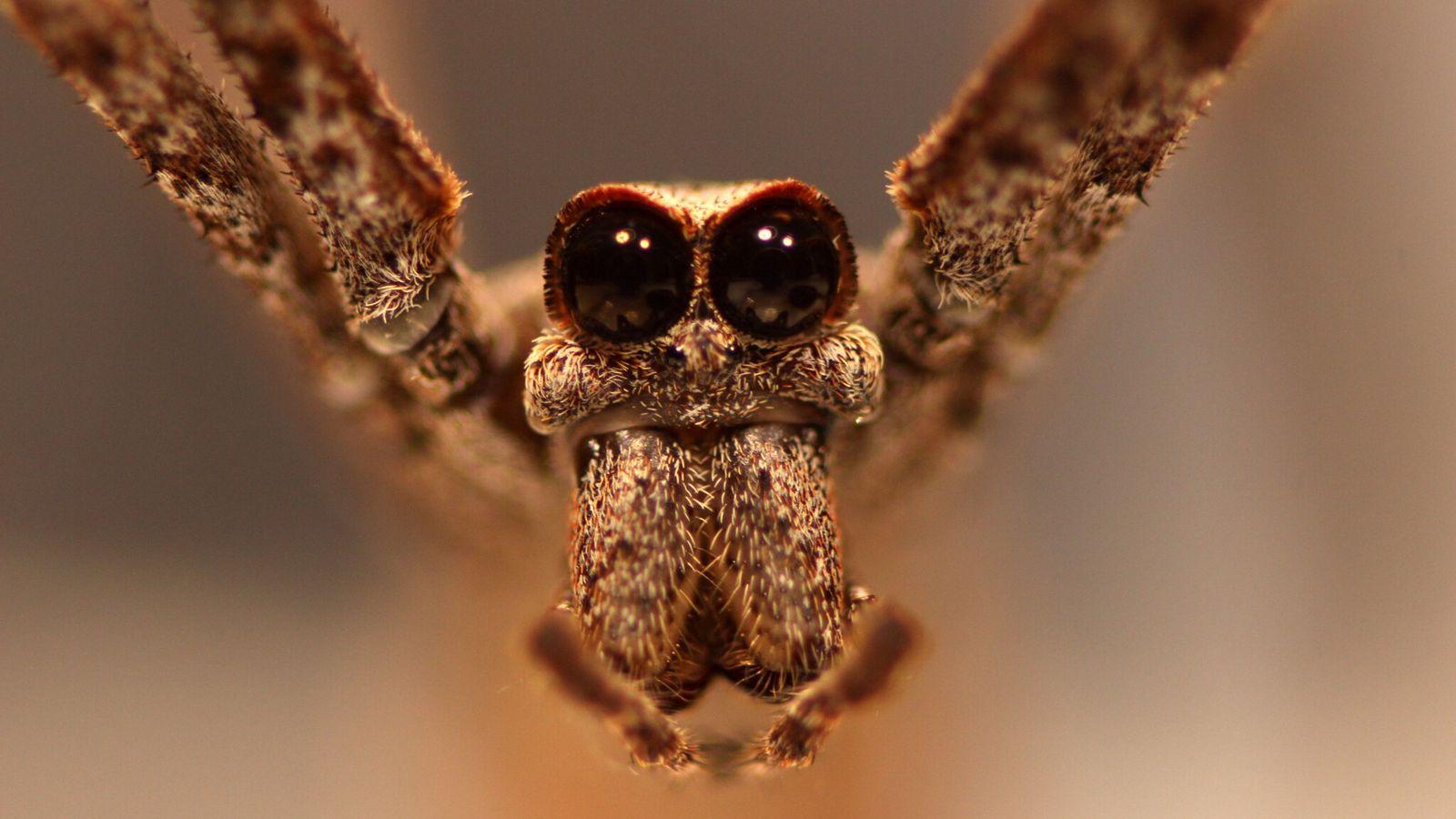 Las arañas cara de ogro reciben ese nombre por los dos enormes ojos en el frente ...