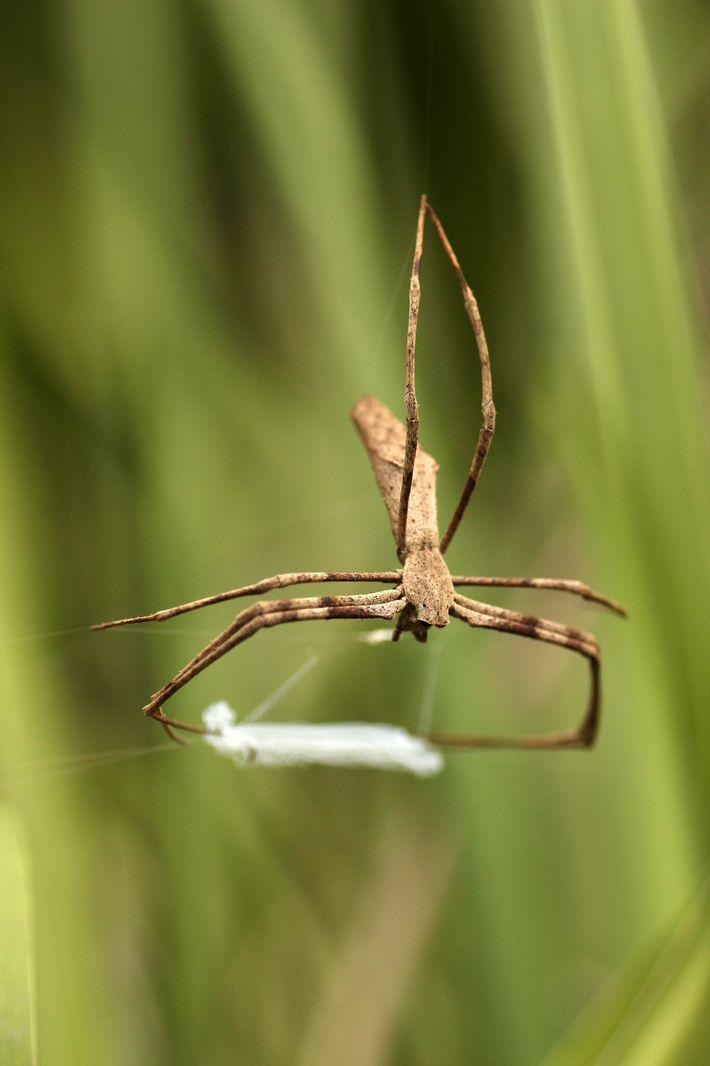 Según indica el estudio, las arañas cara de ogro fabrican una red de seda pegajosa y ...