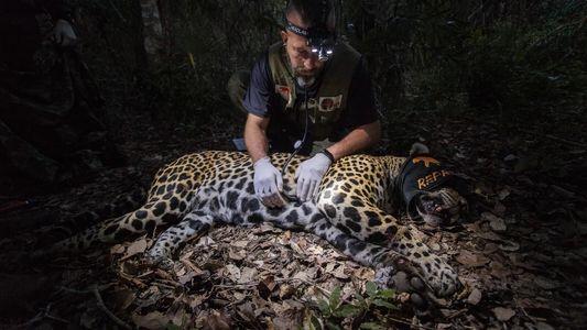 Brasil: científicos recolectan semen de jaguares en el Pantanal para salvar a poblaciones aisladas