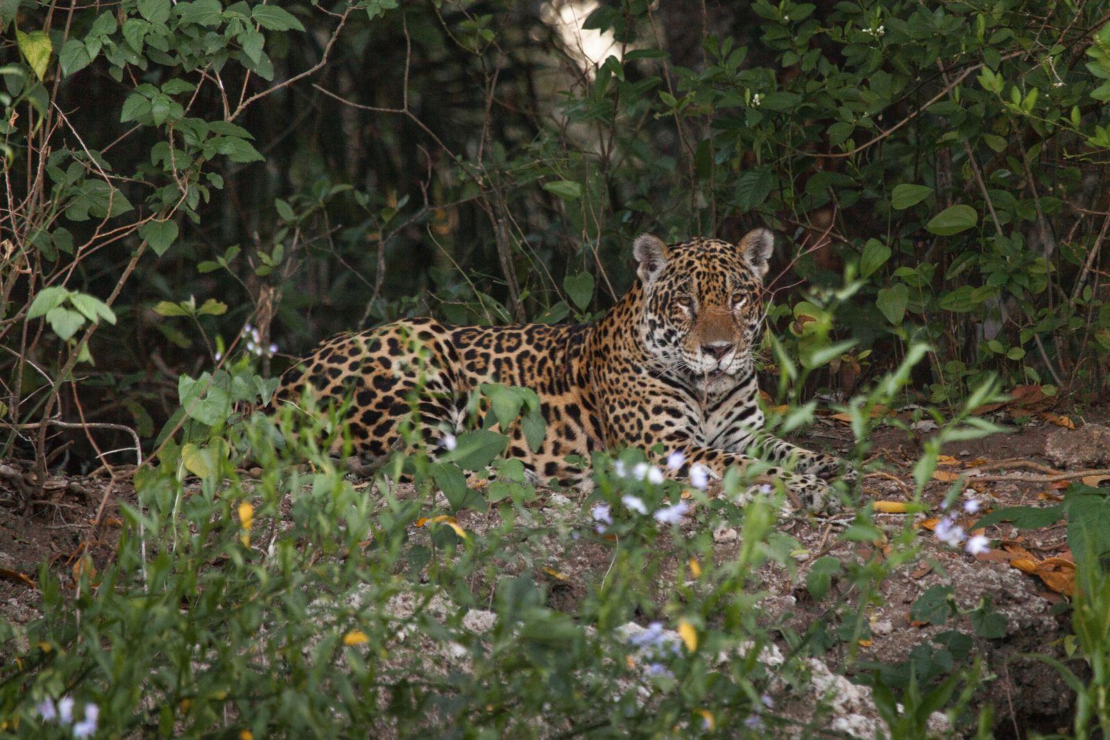 Este jaguar fue capturado en la región de Passo do Lontra. Poco después, lo sedaron, le ...