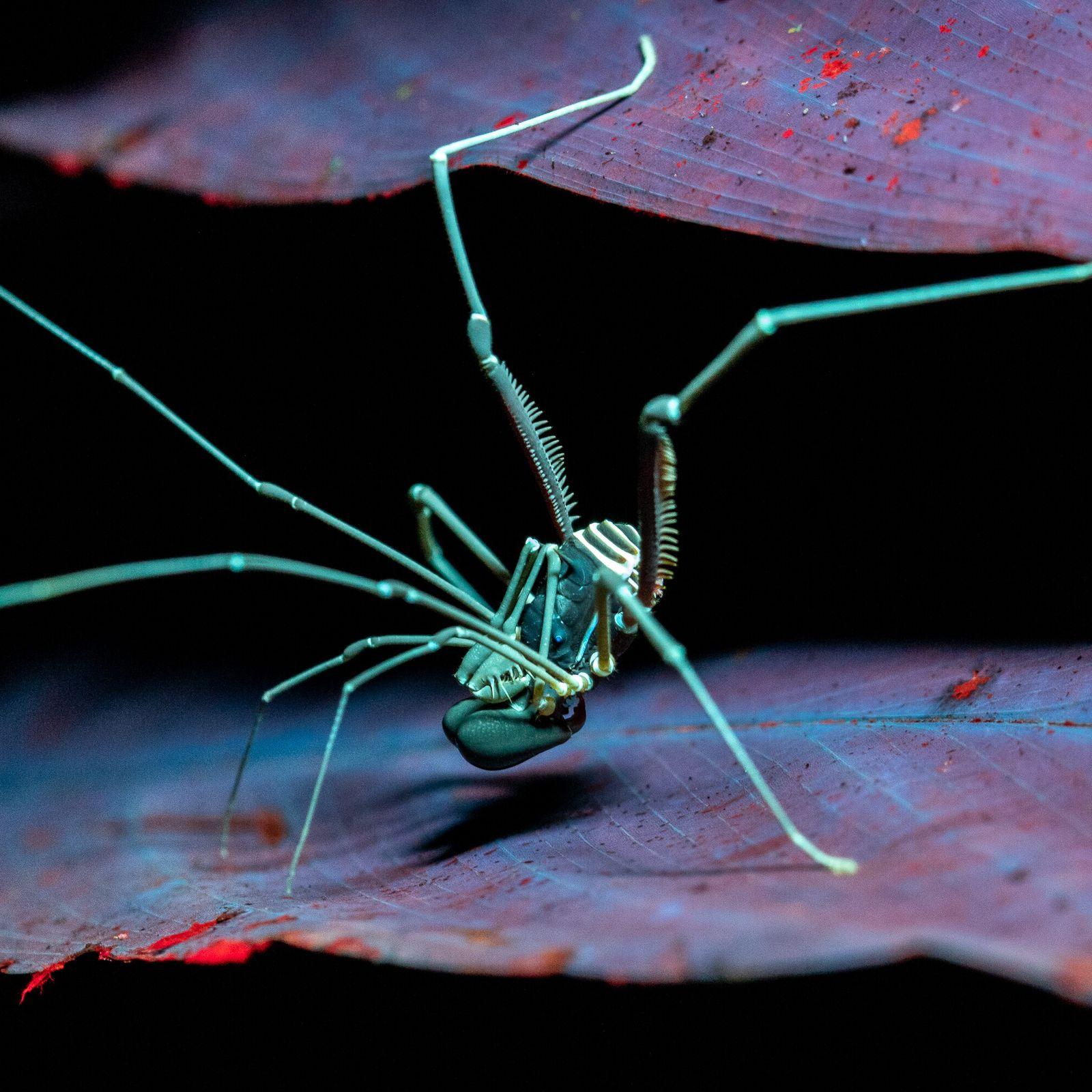 La fotografía ultravioleta revela la fluorescencia de un ejemplar de opiliones de la familia Stygnidae en ...
